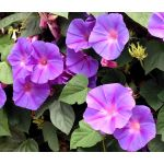 Morning Glory Mixed Seeds - Ipomoea Purpurea