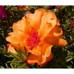 Moss Rose Orange Seeds - Portulaca Grandiflora