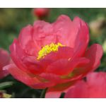 Moss Rose Red Seeds - Portulaca Grandiflora