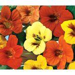 Nasturtium Jewel Mix Seeds - Tropaeolum Majus