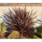 New Zealand Flax Purple Seeds - Phormium Tenax Purpureum
