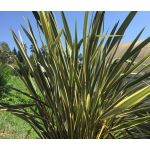 New Zealand Flax Seeds - Phormium Tenax New Hybrids