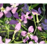 Night Scented Stock Seeds - Matthiola Longipetala