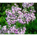 Nodding Pink Onion Seeds - Allium Cernuum
