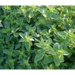 Oregano Seeds - Origanum Vulgare