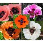 Oriental Poppy Mix Seeds - Papaver Orientale