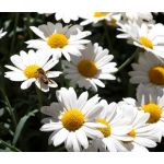 Ox-Eye Daisy Seeds - Leucanthemum Vulgare