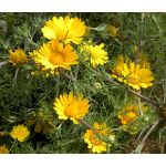 Palm Springs Daisy Seeds - Cladanthus Arabicus
