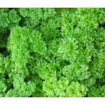 Parsley Moss Curled Seeds - Petroselinum Crispum