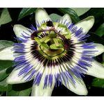 Passion Flower Blue Seeds - Passiflora Caerulea