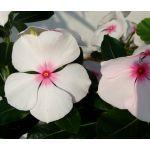 Periwinkle Dwarf Little Bright Eyes Seeds - Catharanthus Roseus