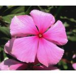 Periwinkle Dwarf Pink Little Delicata Seeds - Catharanthus Roseus