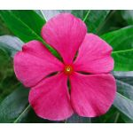 Periwinkle Dwarf Rose Little Linda Seeds - Catharanthus Roseus