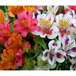 Peruvian Lily Dr. Salter's Mix Seeds - Alstroemeria Ligtu