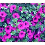 Petunia Laura Bush Seeds - Petunia X Violacea Solanaceae