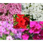 Phlox Mixed Seeds - Phlox Drummondii