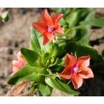 Pimpernel Scarlet Seeds - Anagallis Monelli