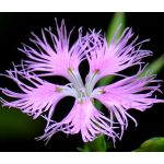 Pink Fringed Seeds - Dianthus Superbus