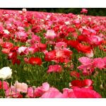 Poppy Cascade Pocket Mix Seeds