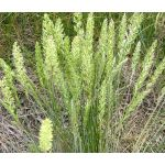 Prairie Junegrass Seeds - Koeleria Cristata