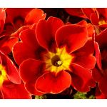 Primrose English Accord Scarlet Seeds - Primula Vulgaris