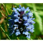Prunella Self Heal Light Blue Seeds - Prunella Grandiflora