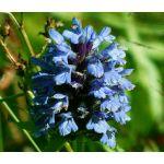 Prunella Self Heal Light Blue Seeds - Prunella Grandiflora