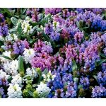 Prunella Self Heal Pagoda Mix Seeds - Prunella Grandiflora