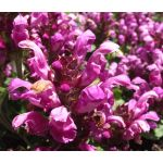 Prunella Self Heal Red Purple Seeds - Prunella Grandiflora Rubra