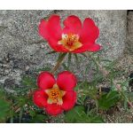 Purslane Toucan Scarlet Shades Seeds - Portulaca Oleracea