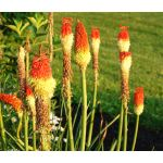 Red Hot Poker Seeds - Kniphofia Uvaria Royal Castle Hybrids
