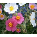 Rock Rose Common Mutabile Mix Seeds - Helianthemum Nummularium