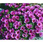 Rockfoil Purple Robe Seeds - Saxifraga Arendsii
