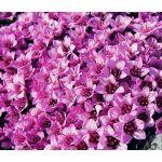 Rockfoil Rose Robe Seeds - Saxifraga Arendsii