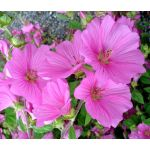 Rose Mallow Mix Seeds - Lavatera Trimestris
