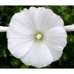 Rose Mallow White Seeds - Lavatera Trimestris