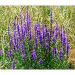 Sage Blue Seeds - Salvia Farinacea