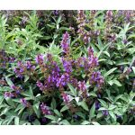 Sage Seeds - Salvia Officinalis