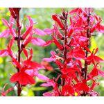 Sage Scarlet Seeds - Salvia Coccinea