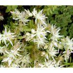 Sedum Cliff Stonecrop Seeds - Sedum Glaucophyllum