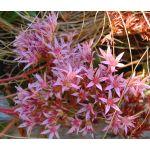 Sedum Purple Carpet Stonecrop Seeds - Sedum Spurium Coccineum