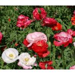 Shirley Poppy Double Mix Seeds - Papaver Rhoeas