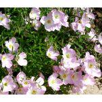 Showy Evening Primrose Seeds - Oenothera Speciosa
