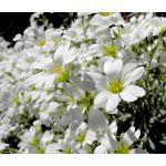 Snow in Summer Seeds - Cerastium Tomentosum