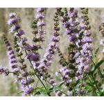 Spearmint Bulk Seeds - Mentha Spicata