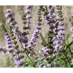 Spearmint Seeds - Mentha Spicata