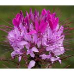 Spider Flower Violet Queen Seeds - Cleome Hassleriana