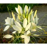Spider Flower White Queen Seeds - Cleome Hassleriana