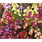 Spurred Snapdragon Linaria Maroccana Seeds