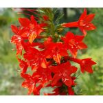 Standing Cypress Ipomopsis Rubra Flower Seeds